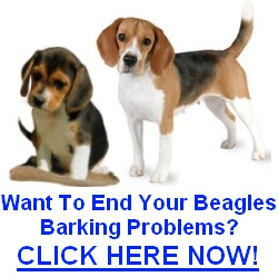 Beagle Barking