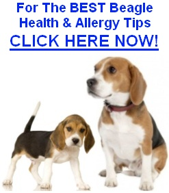 Beagle Allergies